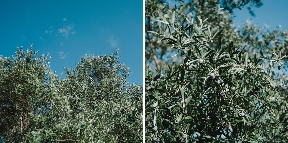 Athens Olive Trees