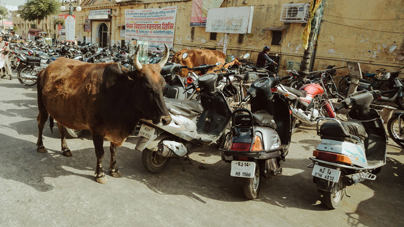 Cow in Agra India