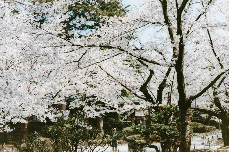 Hanami in Japan, Tomasz Wagner, Kenrokuen Garden, Kanazawa, Contax G2, Japan 35mm Film Photography