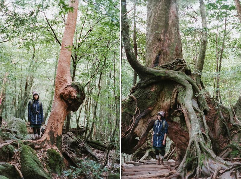 Yakusugi Ancient Cedar Trees, Shiratani Unsuikyo Ravine, Tomasz Wagner
