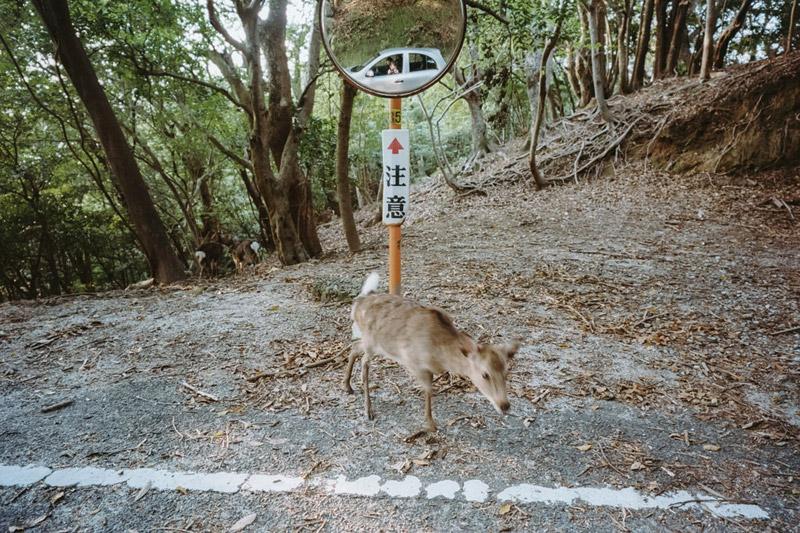 Yakushika, Japanese Deer, Yakushima World Heritage Site, Tomasz Wagner