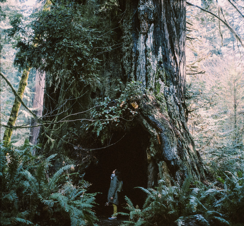 california redwoods on medium format expired film