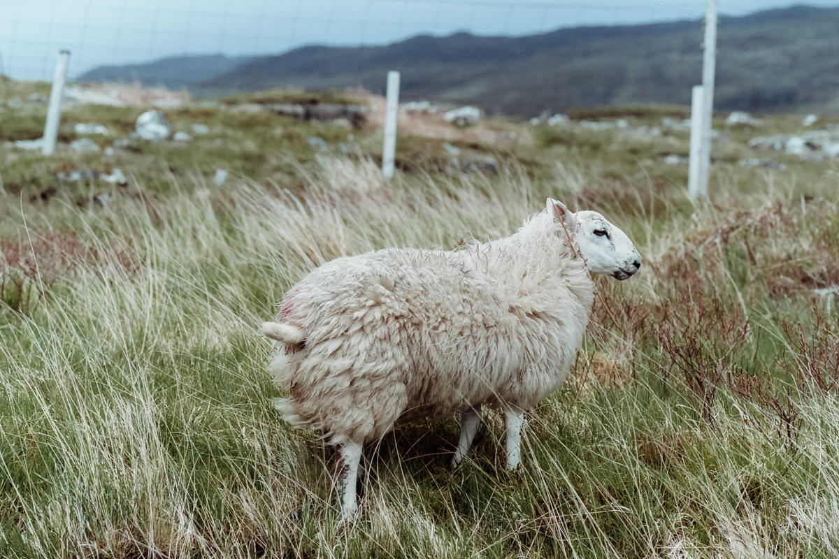 Isle of Skye Sheep scotland photographing on contax g2 film camera and kodak portra 160