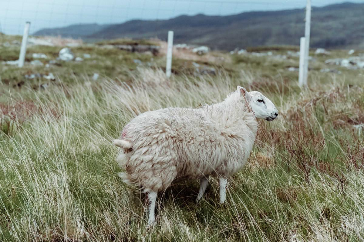 Isle of Skye Sheep scotland photographing on contax g2 film camera and kodak portra 160