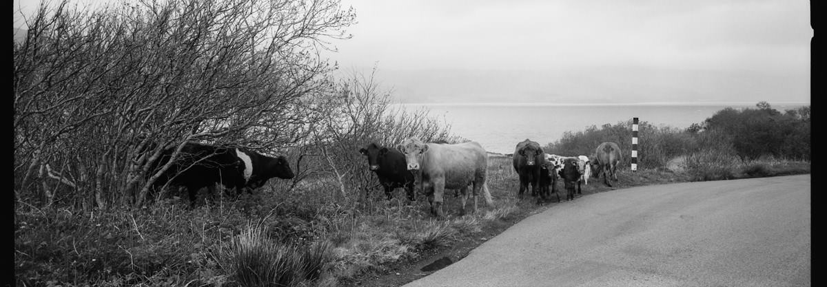 Isle of Mull Cows scotland photographing on hasselblad xpan panoramic film camera and kodak trix 400