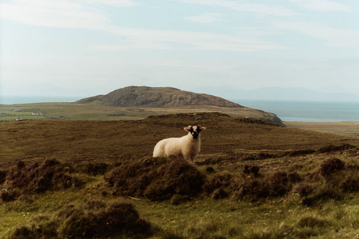 Isle of Mull Sheep scotland photographing on contax g2 film camera and kodak portra 160
