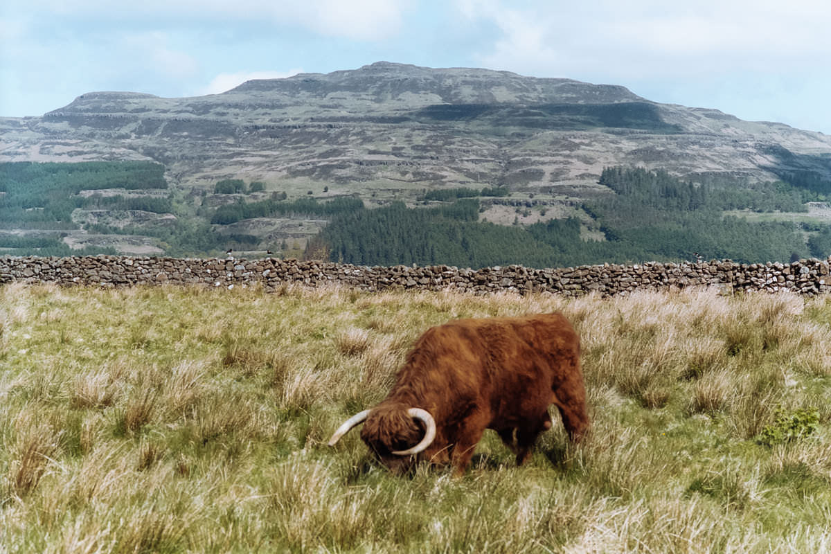 Isle of Mull Coo scotland photographing on contax g2 film camera and kodak portra 160