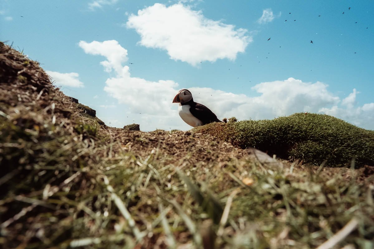 Puffins Isle of Staffa scotland photographing on contax g2 film camera and kodak portra 160