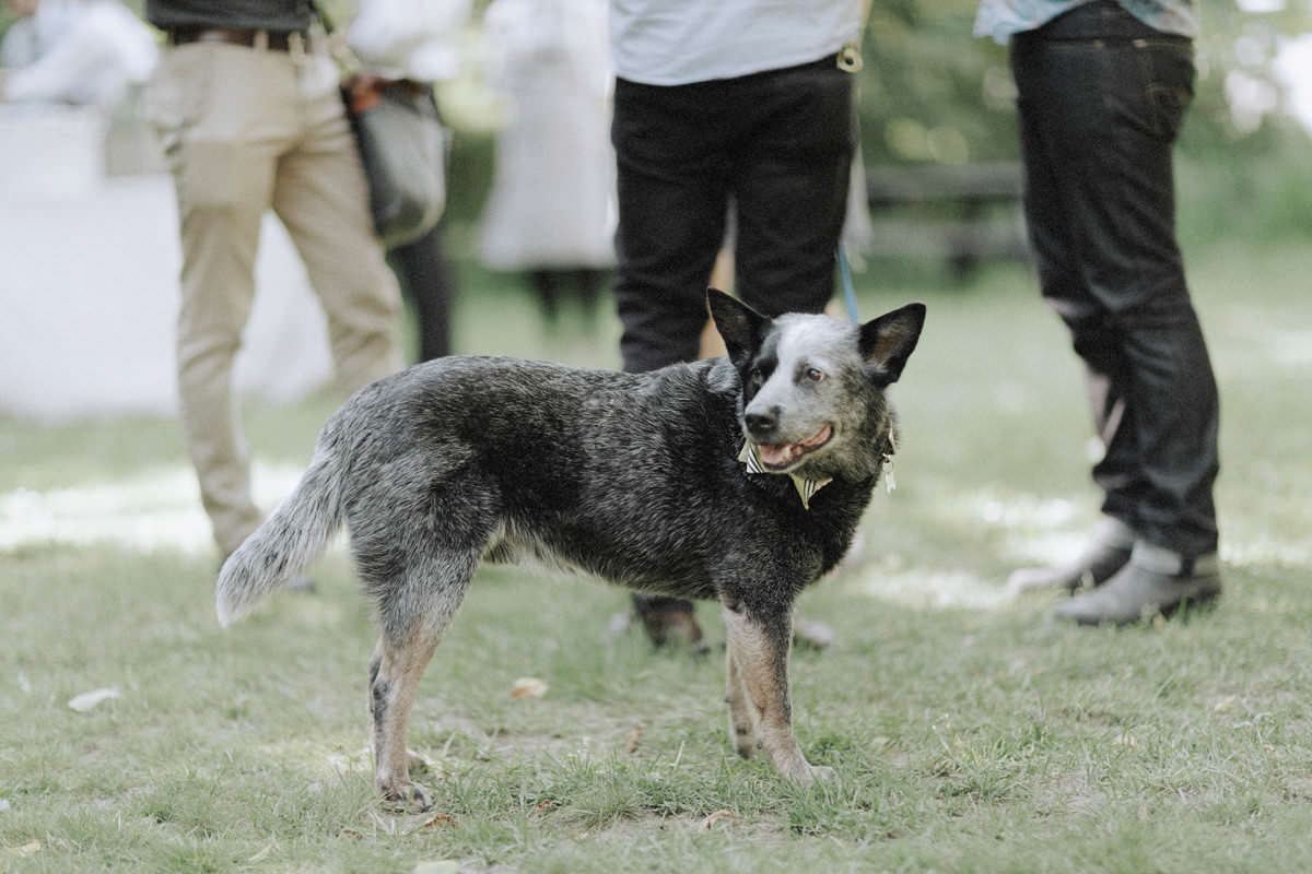 blue heeler dog at squamish wedding