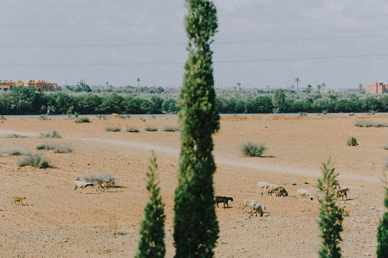 farm animals outside marrakech