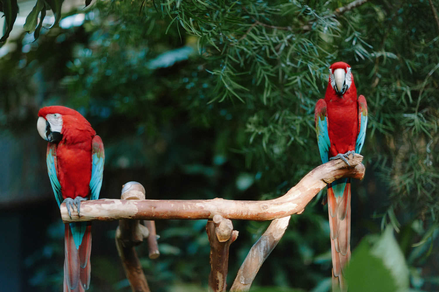 two scarlet macaws at bloedel conservatory in vancouver
